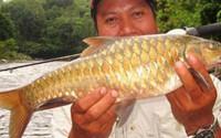 """Cá đặc sản được mệnh danh """"vong bất liễu ngư"""" có giá ngang vàng"""