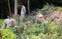Mê mẩn với vườn hồng lớn nhất Việt Nam