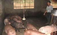 Hải Dương: Chưa xác định bệnh dịch tả lợn châu Phi xuất hiện tại xã Đông Xuyên