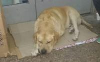 Chó nằm chờ chủ đã chết hơn một tuần ở bệnh viện