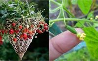 """7 loại cây trồng trong giỏ cho quả lúc lỉu, nhìn """"ngon"""" mắt, vặt đã tay"""