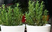 Trời nồm ẩm khiến muỗi hoành hành, đây là 8 loại cây nên trồng để xua đuổi chúng mà không cần hóa chất