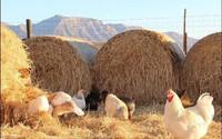 Người phụ nữ về quê trồng rau, nuôi gà tạo nên một trang trại rực rỡ sau khi mẹ mất vì ung thư
