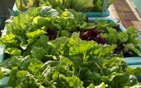 """Chỉ 15m², mẹ đảm hai con ở Sài Gòn đã biến sân thượng thành """"trang trại"""" trên không với đủ loại rau củ xanh mướt"""