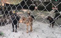 Cháu bé 7 tuổi, 7 con chó và một nỗi nhức nhối