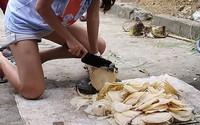 Thân loài cây không có giá trị gì ở Việt Nam, đưa sang Nhật giá lên tới gần 300.000 đồng/khúc 10cm