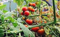 7 loại cây dễ dàng trồng ở ban công, trong nhà