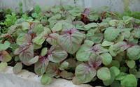 Cách trồng rau dền nấu canh ngày hè, nhà ăn không hết phải mang cho