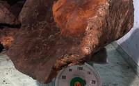 """Kiểm lâm xác minh """"đại gia"""" sở hữu cây nấm chò nặng 70kg"""