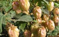 Loài hoa không thể thiếu khi sản xuất bia được bán với giá gần 500.000đ/kg