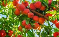 Mẹo trồng chậu đào sai trĩu quả từ hạt