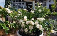 Vườn hồng sân thượng rực rỡ sắc màu của chàng trai 8x siêu đảm ở Sài Gòn