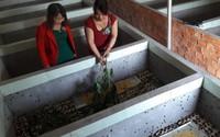 Nuôi loài chết sớm trong hồ xi măng, cô gái vùng quê thu 15 triệu/tháng