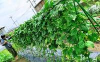 Khu vườn nhỏ phủ kín rau quả sạch tốt tươi của nàng dâu Việt ở Nhật Bản