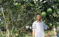 Độc đáo bưởi da xanh ruột tím ở Đà thành