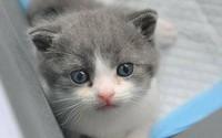 35.400 USD một con mèo nhân bản vô tính