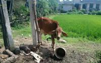Thấy bò đi lạc vào vườn, dì cháu rủ nhau bắt đi bán