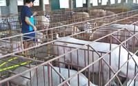 Dịp cận Tết, có thể thiếu 500.000 tấn thịt lợn