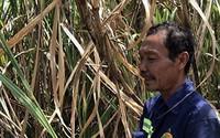 Nông dân vùng mía lớn nhất miền Tây kêu cứu