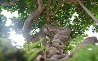 Lộ diện cây si Thạch Sanh có giá hàng tỷ đồng khiến đại gia mê mẩn