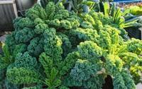 Cách trồng cải xoăn Kale tốt tươi ngập tràn sân thượng của nữ bác sĩ ở Quảng Ninh