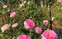 Chàng trai 24 tuổi một mình gầy dựng trại hoa hồng