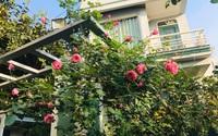 Vườn hoa hồng trước ngõ khoe sắc hương rực rỡ đẹp như một bài thơ ở Hạ Long