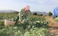 Gia Lai: Người dân khóc ròng vì dưa hấu được mùa