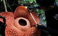 'Hoa quái vật' đơm bông giữa rừng Indonesia