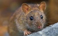 Không cần nuôi mèo, đánh bả, mùi hăng của loại quả này chính là kẻ thù của chuột