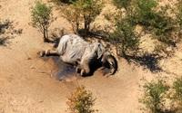 Hơn 400 con voi chết bí ẩn, điều gì đang xảy ra ở Botswana?