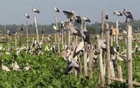 Chim hoang dã đậu kín sông Đầm