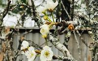 Hoa lê rừng hút khách Thủ đô