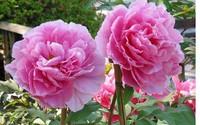 Công dụng kỳ diệu của loài hoa Mẫu đơn tuyệt đẹp