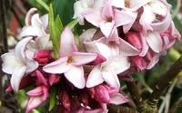 12 loài hoa tuyệt đẹp có thể gây chết người
