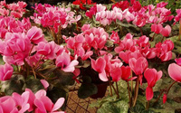 Những loài hoa có thể gây bệnh trong phòng ngủ