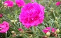 Chữa viêm họng bằng hoa mười giờ