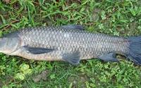 Nuốt mật cá trắm có thể tử vong