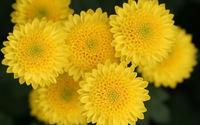 Cúc hoa vàng giúp sáng mắt