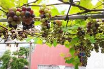 Giàn nho hàng trăm chùm trên sân thượng của ông bố 8x ở Lai Châu