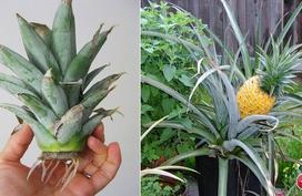 Mẹo trồng dứa siêu nhanh từ phần ngọn bỏ đi để hè này ăn thoải mái