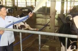 Thuê người chăm 65 con bò sữa, ông nông dân nhàn hạ thu tiền xây nhà, mua 5 chiếc ô tô