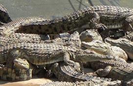 Bị bỏ đói vì thua lỗ, hàng vạn con cá sấu nằm