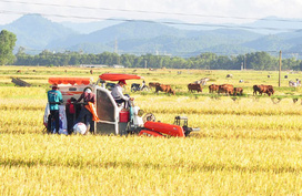 """Gặt lúa cũng có """"bảo kê"""""""