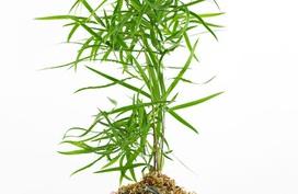 Học cách trồng cây vừa đẹp vừa nghệ thuật theo phong cách Kokedama của người Nhật