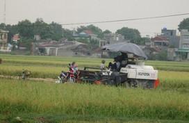 Thanh Hóa: Người dân hối hả đội mưa gặt lúa