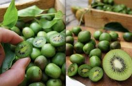 Mùa này, không trồng kiwi tí hon từ hạt để ăn ngon mỏi miệng thì quá phí