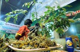 Tìm giải pháp phát triển toàn diện sâm Ngọc Linh thành sản phẩm quốc gia