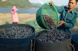 Kiếm bộn tiền từ nghề cá khô sông Đà
