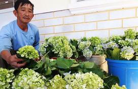 Bí quyết chăm hoa cẩm tú cầu vườn nhà nở bung, sáng rực, đẹp như hoa Đà Lạt
